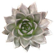 Silver Flowers | Buy Silver Flowers Online | Silver Rose | Silver Thistle Order Flowers, Flowers Online, All Flowers, Silver Flowers, Purple Flowers, Wedding Flowers, Wholesale Succulents, Succulents For Sale, Manzanita Branches