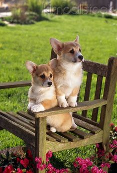 PUP 30 RC0005 01 - Two Welsh Corgis Sitting On Bench In Garden By Pink Flowers Grass - Kimballstock