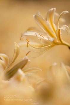 Yellow lily by nutcookie. @go4fotos