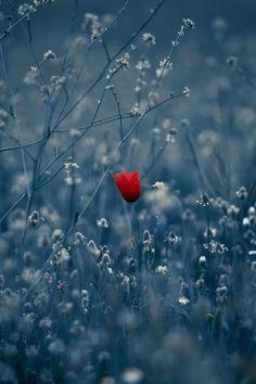 640-Poppy-l