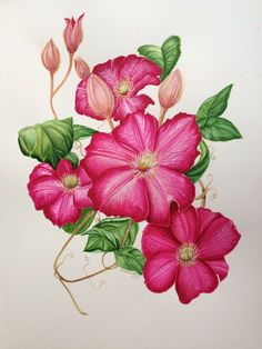 Watercolour. Clematis