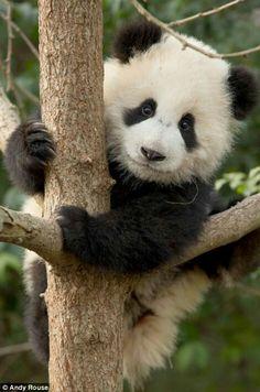 Panda...❄