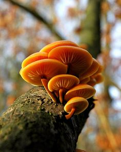 A wonderful edible species of wild mushroom, Velvet foot mushrooms (Flammulina velutipes) - By Lothar Monshausen.