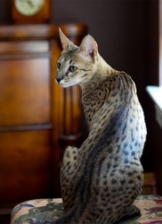 Coco, a Savannah cat striking a pose