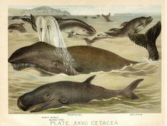 Blackfish, Porpoise, and Dolphin from Johnson& household book of nature by John Karst Antique Prints, Antique Art, Rare Antique, Free Illustrations, Natural History, Dolphins, Mammals, Vintage, Household
