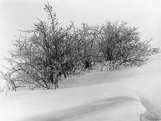 Albert Renger-Patzsch, Dornbüsche im Schnee, 1950er Jahre, Auktion 825 Vintage - Photographie, Lot 81 #rengerpatzsch #lempertz #blackandwhite #photographie #snow