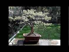 How to create a bonsai Ezo Spruce from Nursery Stock.How to create a bonsai from nursery stock Ezo Spruce. This Ezo Spruce was worked on regularly for four m. Bonsai, Nursery, Create, Videos, Plants, Baby Room, Child Room, Plant, Babies Rooms