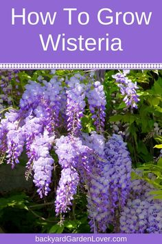 Hydroponic Gardening Ideas Wisteria vines are full of lavender-blue flowers that cascade from the branches in a spectacular display of beauty. Learn how to grow wisteria from seed and cuttings, and what kind of care it needs to thrive. Garden Shrubs, Lawn And Garden, Garden Tips, Garden Care, Herb Garden, Shade Garden Plants, Spring Plants, Fruit Garden, Home And Garden