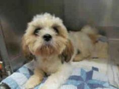A4472462 URGENT BALDWIN PARK SHELTER is an adoptable Shih Tzu Dog in Baldwin Park, CA. **WE NEED VOLUNTEERS TO POST & REMOVE PETS ON PETFINDER. IF YOU CAN COMMIT TO THE CAUSE OF HELPING SAVE SHELTER A...
