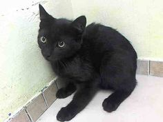 TO BE DESTROYED 8/20/14 ** BABY ALERT! Allows petting after a slow appraoch  ** Brooklyn Center  My name is JILL. My Animal ID # is A1010134.  I am a male black domestic sh mix. The shelter thinks I am about 14 WEEKS old.   I came in the shelter as a STRAY on 08/11/2014 from NY 11411,  Group/Litter #K14-189733.