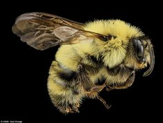 Something to buzz about: The U.S. Geological Survey has been photographing bees for the past six or seven years, posting about 1,200 images ...