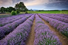An poster sized print, approx (other products available) - Sunrise at a lavender farm in Te Awamutu, Waikato, New Zealand - Image supplied by AWL Images - Poster printed in Australia Lavender Fields, Lavender Oil, Herbal Remedies, Home Remedies, Natural Remedies, Idaho, Poster Size Prints, New Zealand, Landscape Photography