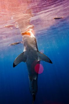 Cool Shark Picture