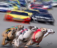 The Wrong Track For Racing Greyhounds   Greyhound Art by Jeffrey Hunter.    EEEEEEYYYYYYYYOOOOOWWWWW!!!!!!   Greyhounds are super fast however these 5 fierce athletes are a bit out-matched. At speeds of up to 230 miles per hour the thundering race cars are gonna squash these hounds unless they find an out fast   Somebody forgot to tell them that it was NASCAR Day at the track, a minor detail that sure gave these greyhounds a reason to run very very fast.