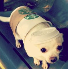 Dog Halloween Starbucks costume: Tall chihuahua macchiato!