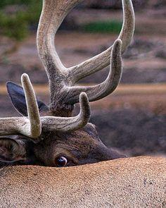 Peek-a-boo--bull elk