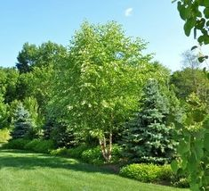 Berm with mixed plantings.need some evergreen trees in our backyard Privacy Landscaping, Outdoor Landscaping, Front Yard Landscaping, Outdoor Gardens, Landscaping Ideas, Yard Privacy, Privacy Trees, Garden Shrubs, Garden Trees