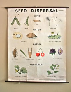 vintage biology pull down school chart: seed dispersal in color - ecology Montessori, Science Lessons, Science Projects, Teaching Plants, Seed Dispersal, Biology Major, Vintage School, Project Based Learning, Nature Study