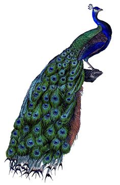Instant Art Printable Download - Fabulous Colorful Peacock - The Graphics Fairy
