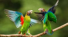 Brown-hooded Parrot - Introduction | Neotropical Birds Online