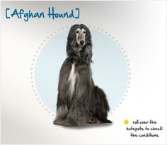 Did you know Afghan Hounds may hail from 19th century Afghanistan, but today's modern version is more closely related to dogs from the UK? Read more about this breed by visiting Petplan pet insurance's Condition Checker.