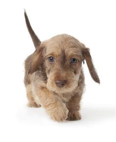 Untitled Wire Haired Dachshund Dog Breeds