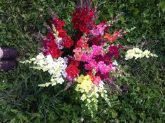 Chantilly snapdragons mixed colors