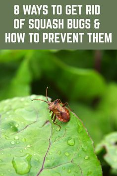 8 Ways To Get Rid Of Squash Bugs & How To Prevent Them Squash bugs are persistent and can bring devastation to crops. Although squash bugs get their name from their most desirous crop, squash, they can also rip apart a pumpkin crop in a short amount of Cottage Garden Design, Cottage Garden Plants, Veg Garden, Garden Pests, Vegetable Gardening, Squash Plant, Squash Bugs, Planting Vegetables, Growing Vegetables