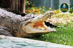 Cocodrilo de Tumbes. Pueden llegar a medir mas de 4 metros de longitud, los machos son mas grandes que las hembras. Las madres hacen un nido en arena o ramas donde depositan su huevos y vigilan el nido hasta la eclosión de las crías. Se alimentan de peces, reptiles, aves, mamíferos y anfibios. ¿Sabías qué? Es el único cocodrilo que existe en Perú. Es la única familia de reptiles que transporta sus crías en la boca una vez que estas salen.