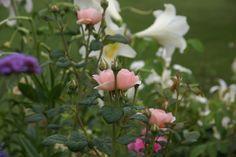 róża, lilie