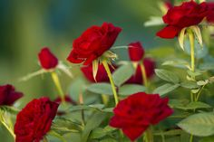 Red roses by Julia Carvalho - Photo 110085243 - 500px