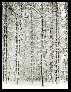 white on #white   Pine Forest in #Snow, Yosemite National Park, 1932 by Ansel Adams