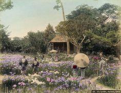 Adolfo Farsari (1841-1898) - A. Farsari & Co.Yokohama Studio Iris garden at Horikiri - Horikirishobuen 堀切菖蒲園 at Tokyo - Japan - Hand colored bromide - 1880s Nippon-Graph