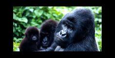 Gorila de tierras bajas, especie en peligro de extinción
