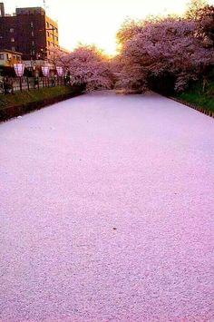 Riu de petals de flor de cerezo