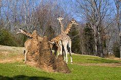 """Giraffes By Termite Mount"" by fellow artist/photographer Chris Flees."