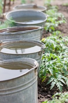 Warming your garden naturally on those early spring chilly nights.....buckets of water during the day, soaking up the sun's warmth....slowing releasing the heat at night....keeping your garden safe.