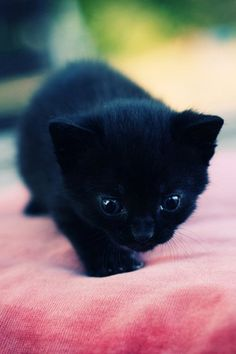 Adorable little black kitten Baby Kittens, Kittens Cutest, Cats And Kittens, Baby Hamster, Crazy Cat Lady, Crazy Cats, I Love Cats, Cute Cats, Gatos Cats