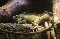 Iguana at Osaka