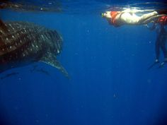 If you are adventure lovers then you are absolutely going to love this! Mexicomayantours.com presents unique guided swim with whale shark tours, jungle trekking tours and much more for you. Learn more!
