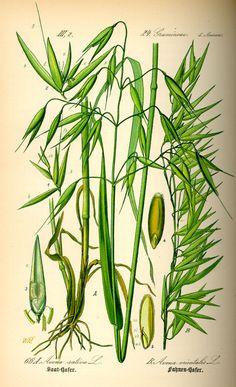 Common oat (Avena sativa), Hungarian oat (Avena orientalis), 'Flora von Deutschland', Otto Thome, 1903