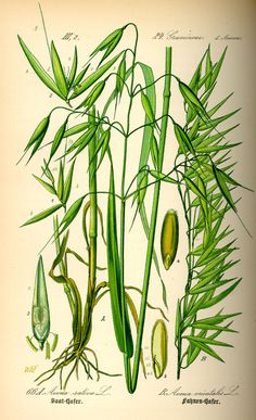 Herb of the Month: Get to know Oats