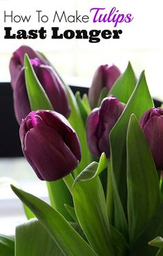 Gardening Flowers - Tips on how to make your grocery store tulips last longer and stay perky. Nobody likes a droopy tulip for spring decorating! Fresh Flowers, Spring Flowers, Beautiful Flowers, Tulips Flowers, Purple Tulips, Cut Flowers, Garden Plants, Indoor Plants, Tulips Garden