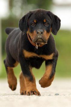 #Rottweiler #pup....
