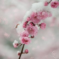 Pink Blossoms in Snow storm