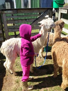 Ex-UK city dweller breeds alpacas in NZ: Guide to Halter Training - Stage Heavy Petting Suri Alpaca, Alpacas, Stage, Drama, Training, Pets, Camel, Fitness Workouts, Drama Theater