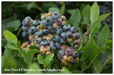 Pavel Chlouba: Výsadba, pěstování a hnojení kanadských borůvek Blueberry, Home And Garden, Fruit, Gardening, Gardens, Compost, Lawn And Garden, Berry, Blueberries