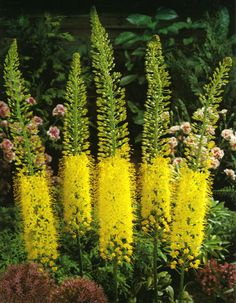 Buy foxtail lily bulbs Eremurus stenophyllus: Delivery by Crocus.co.uk
