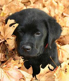 Black Lab puppy--- gotta love fall... just kidding I love puppies!