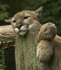 Красивые Кошки, Большие Кошки, Кошки И Котята, Милые Животные, Дикие Животные, Детеныши Животных, Природа, Gatos, Вязаные Животные